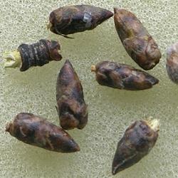 березові бруньки рецепти від кашлю