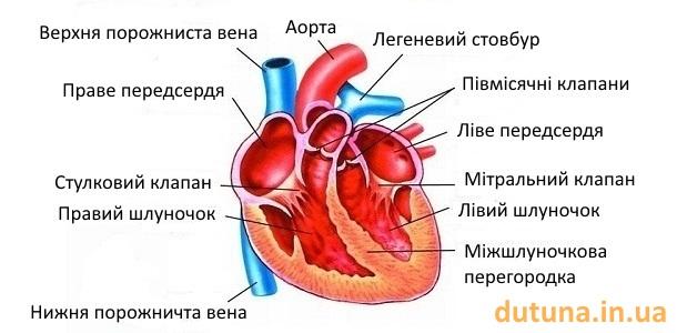 будова серця