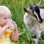 Чим корисне козяче молоко для дітей?